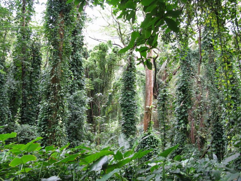 ハワイのジャングル