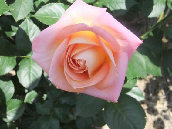 秋の見ごろを迎えたバラ