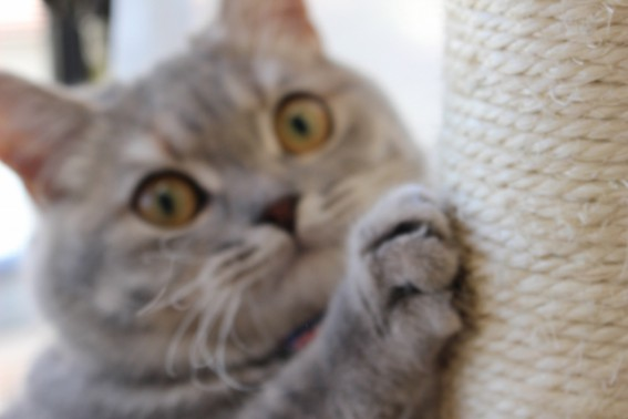 爪とぎが得意なネコ
