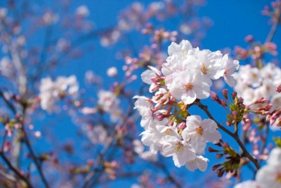 日本人の春の景色に欠かせない「桜」