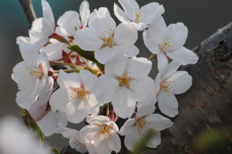 桜といえば、ソメイヨシノ