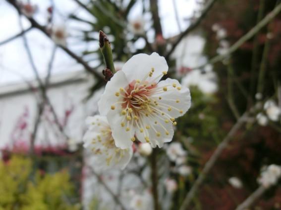 アトピッコハウスの梅の花
