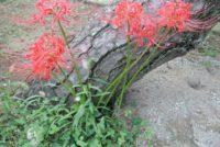 定番の赤い彼岸花