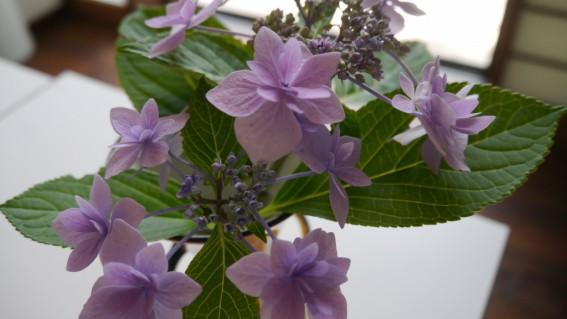 アトピッコハウスの紫陽花