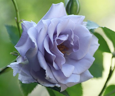 青を追求しているバラ