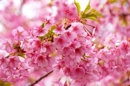 ソメイヨシノよりも紅味が強い河津桜
